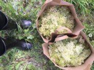 Pohjoismaiden niittyjen kuningattaret – MESIANGERVO (Filipendula ulmaria ja SIKOANGERVO (Filipendula vulgaris)