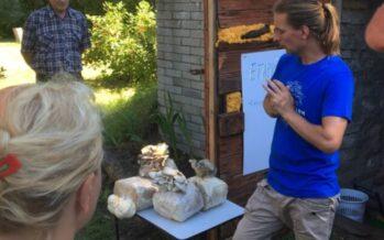 Männan tilalla Läänemaan maakunnassa toimiva Viron sienifarmi esitteli Avointen maatilojen päivänä osterivinokkaiden viljelyä + KUVAGALLERIA!